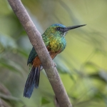 Green-tailed Jacamar