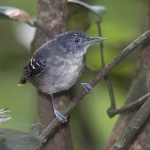 Black-chinned Antbird