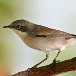 Hume's Whitethroat