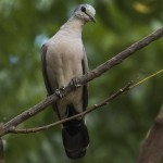 Black-billed Wood Dove