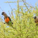 Red-bellied Parrot