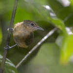 White-flanked Antwren