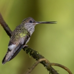 Tooth-billed Hummingbird