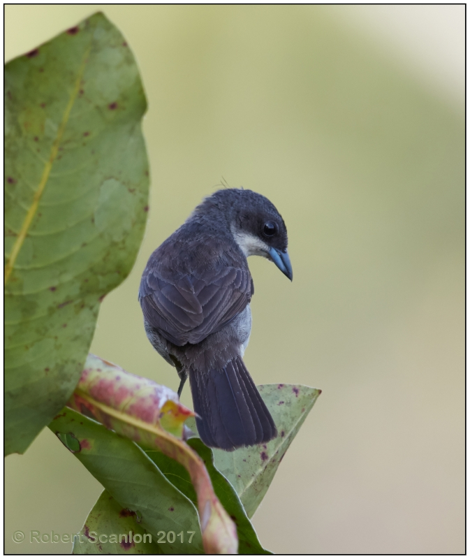Red-shouldered Tanager