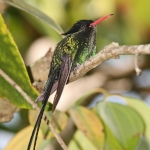 Red-billed Streamertail