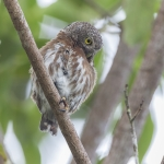 Central American Pygmy Owl