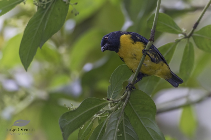 Blue-and-gold Tanager