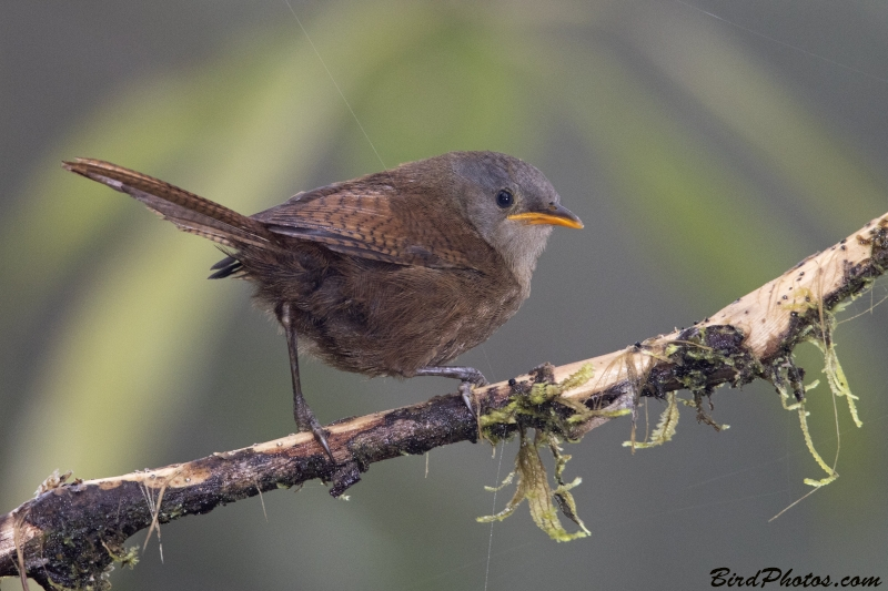 Sepia-brown Wren