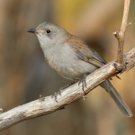 Grey Shrikethrush