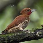 Cinnamon Woodpecker