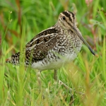 South American Snipe