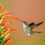 White-booted Racket-tail