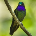 Purple-throated Sunangel