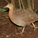 Red-winged Tinamou