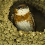 Chestnut-collared Swallow