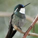 Grey-tailed Mountaingem