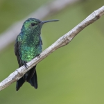 Shining-green Hummingbird