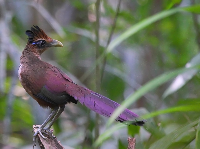 Rufous-vented Ground Cuckoo