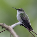 Olive-spotted Hummingbird