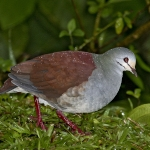Buff-fronted Quail-Dove