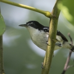 Black-and-white Antbird