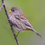 Band-tailed Seedeater