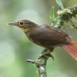 Buff-throated Foliage-gleaner