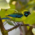 Blue-whiskered Tanager