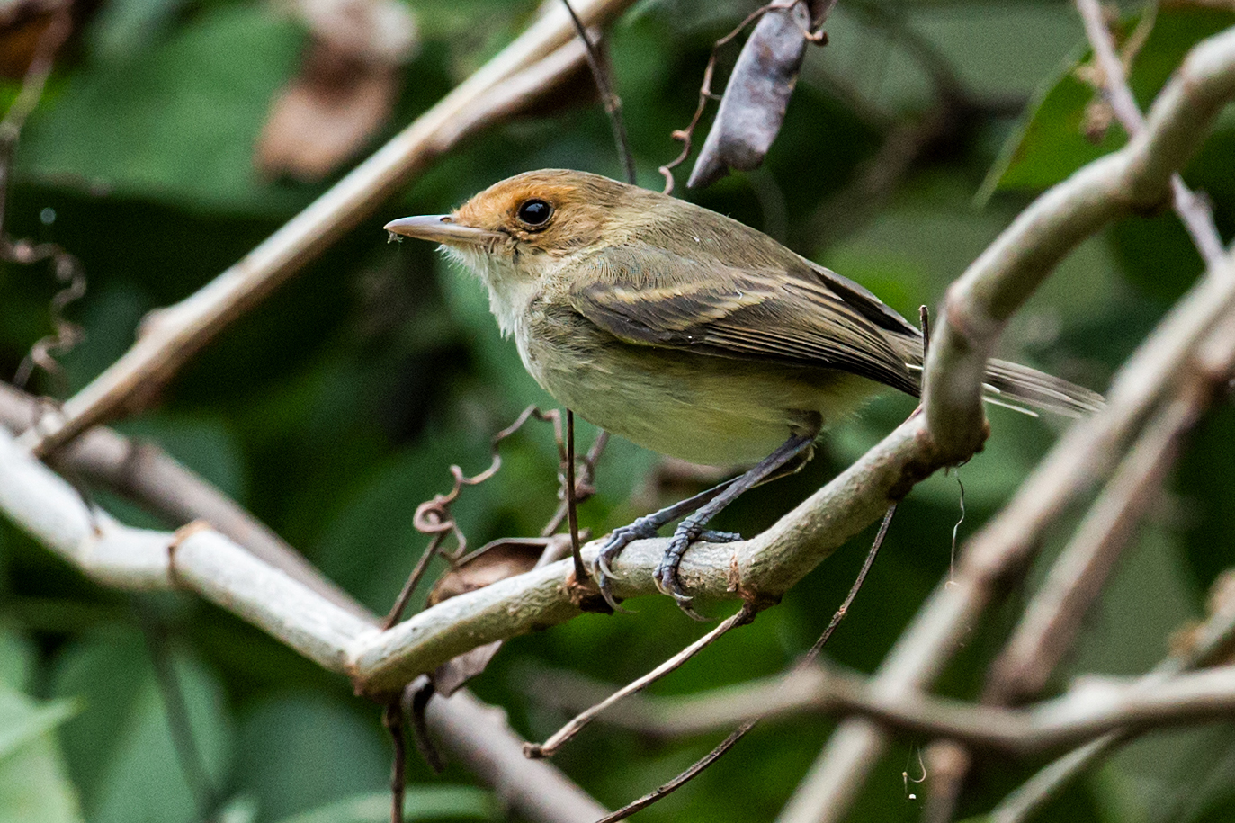 Tawny-crowned Pygmy Tyrant