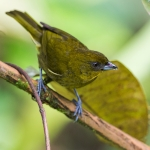 Yellow-green Tanager