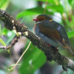 Red-banded Fruiteater