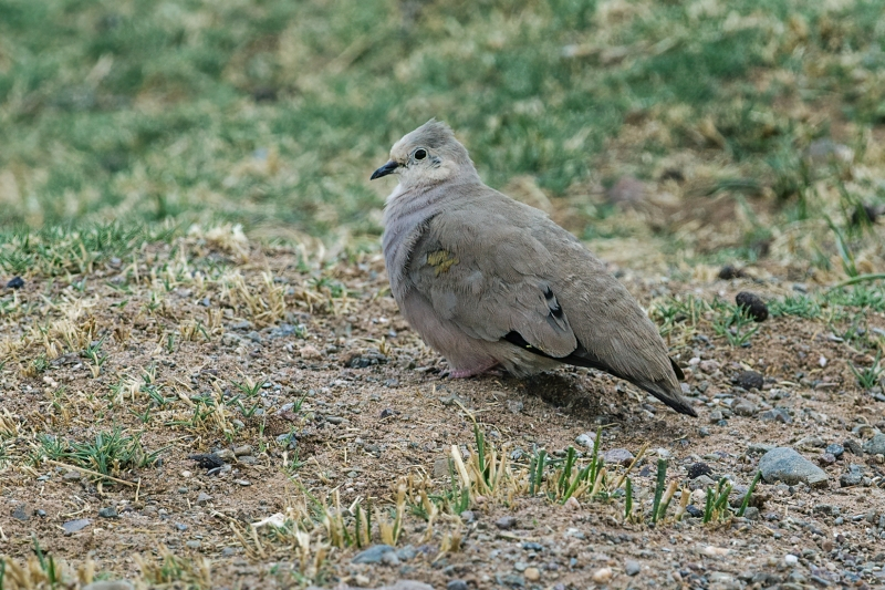 Golden-spotted Ground Dove