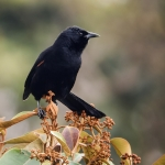Colombian Mountain Grackle