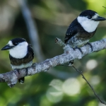 Brown-banded Puffbird