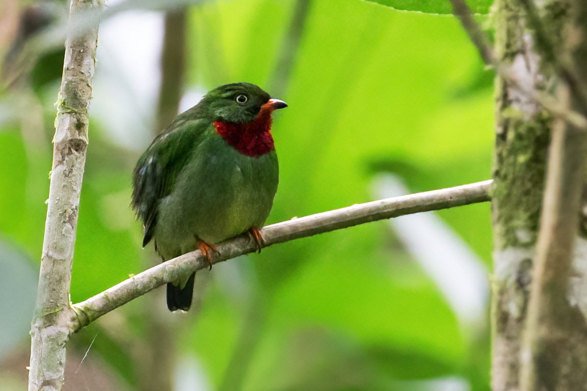 Fiery-throated Fruiteater