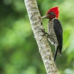 Helmeted Woodpecker