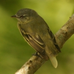 White-fronted Tyrannulet