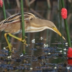 Stripe-backed Bittern