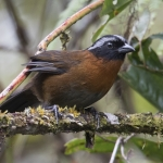 Tanager Finch