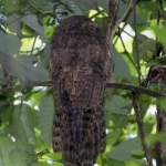 Long-tailed Potoo