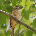 Puffbirds, Nunbirds