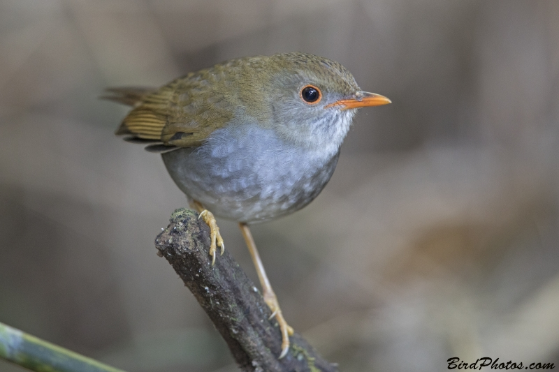 Orange-billed Nightingale-Thrush