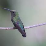 Green-throated Carib