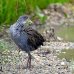 Ash-throated Crake