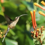 Long-tailed Hermit