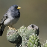Band-tailed Sierra Finch