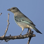 Glaucous Tanager