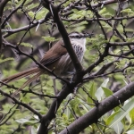 Great Spinetail