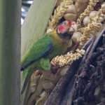 Rose-faced Parrot