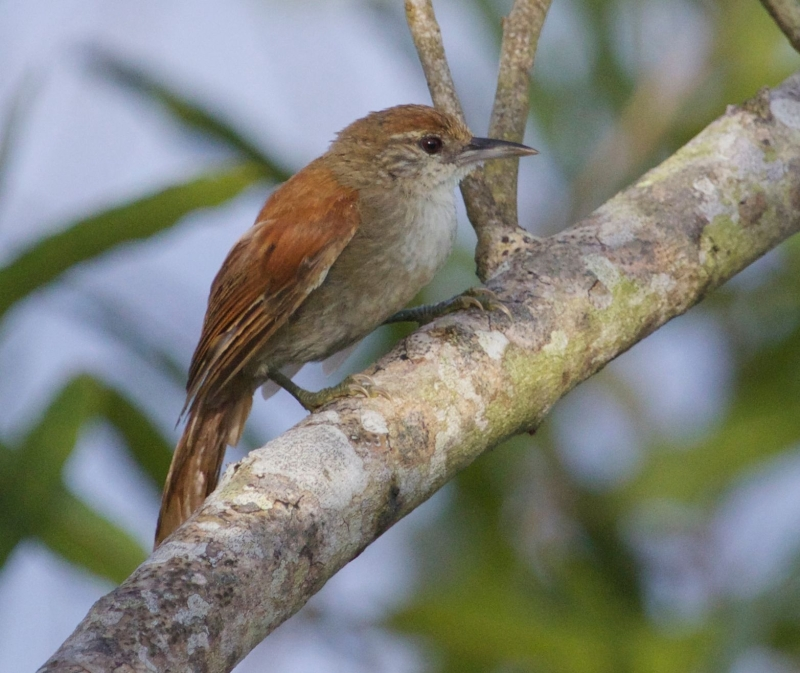 Parker's Spinetail